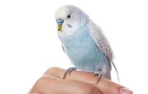 Как разводить волнистых попугаев?