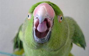 Как разговорить попугая