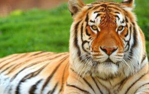 Породы кошек, похожие на тигра