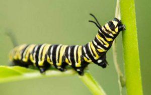 Эти прекрасные гусеницы