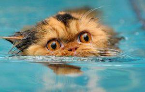 Как искупать персидскую кошку?