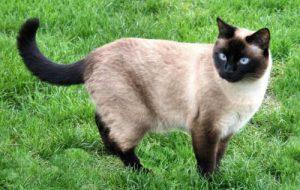 Окрасы сиамских кошек