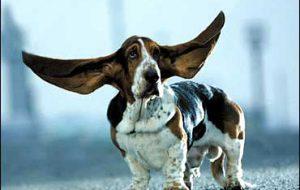 Здоровые уши – здоровый пес