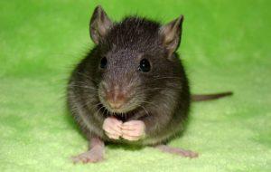 Уход за любимой крыской