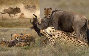 Охотничьи гепарды вельмож средних веков