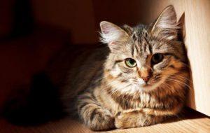 Постоянная рвота у кошек и котов