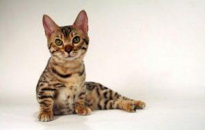 Карликовые коротколапые породы кошек