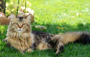 Сколько живут коты и кошки Мейн-кун