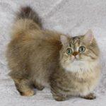 Кошка наполеон (Менуэт)