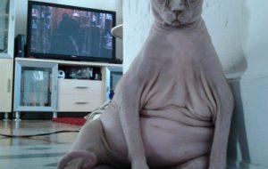 Лысые кошки: пришельцы из космоса?