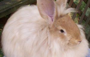 Кролики великаны — породы