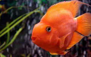 Аквариумная рыба попугай — особенности содержания и ухода