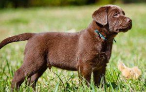 Чумка у собак: симптомы, лечение, признаки