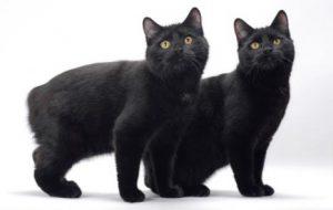 Кошка без хвоста — порода Мэнкс