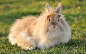 Миксоматоз у кроликов — симптомы болезни и методы ее лечения