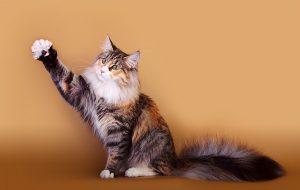Десятка самых сообразительных пород кошек