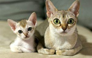 Сингапурская кошка — маленькое чудо с большими глазами