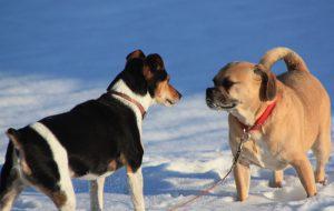 Купирование ушей и хвостов у собак, почему это плохо