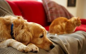Крипторхизм у кошек и собак