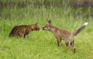 Лиса и кошка: могут ли жить вместе