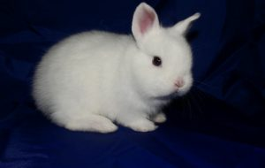 Карликовые кролики для дома — описание породы