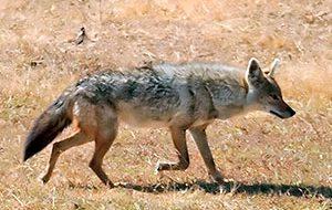 Шакалы и койоты