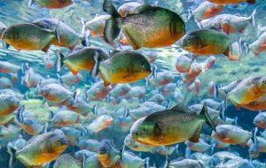 Пираньи как домашние аквариумные рыбки