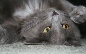 Порода кошачьих нибелунг
