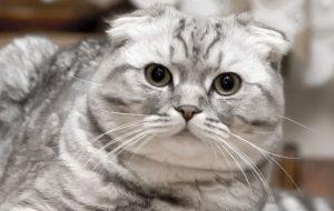 Шотландские вислоухие котята — описание породы. Как ухаживать и чем кормить шотландских вислоухих котят