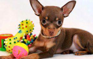 Русский той-терьер — порода собак. Длинношерстный и гладкошерстный русский той-терьер