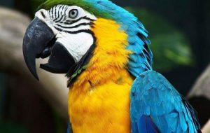 Как выглядит попугай Ара — виды, расцветки, уход и содержание в домашних условиях