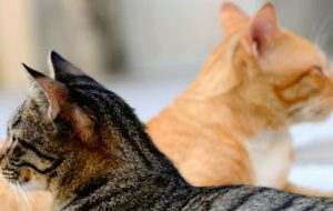Лекари семейства кошачьих