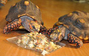 Чем кормить черепах сухопутных ?