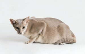 Как узнать, что кошка беременная? признаки беременности