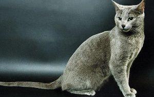 Европейскую короткошерстную кошку выбрали символом Финляндии