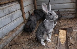 Правильное кормление кроликов