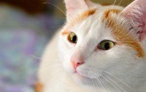 Турецкий ван. Как появилась эта порода кошек?