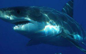Белая акула — опасный хищник
