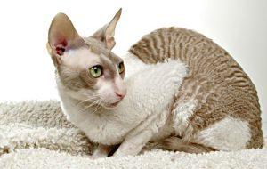 Корниш рекс: кудрявая кошка