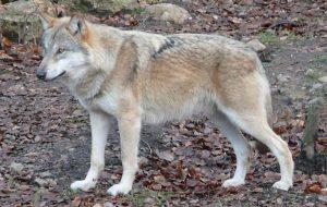 Волки — опасные хищники