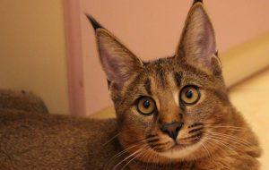 Лечение урологического синдрома у кошек