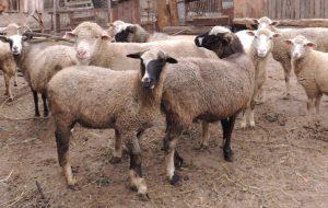 Овцы: двойная польза