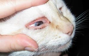 Общие признаки, характерные симптомы конъюнктивита у котят