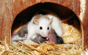 Иглистые мыши