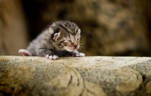 Когда у котят открываются глаза, сколько от рождения должно пройти?