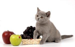 Чем кормить котенка британца?