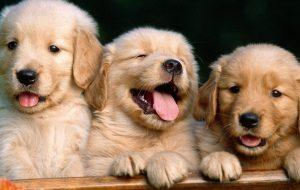 Как приучить щенка к туалету и еще советы по воспитанию щенка