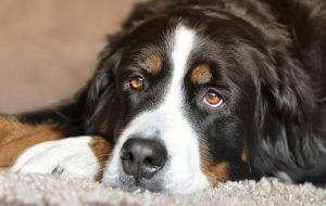 Линька у собак: причины и уход за шерстью