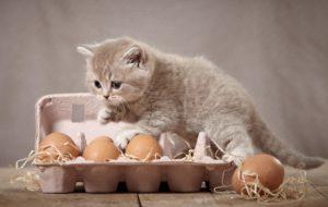 Яйцо котёнку: давать или не давать, можно ли котёнку скорлупу?
