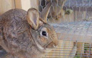 Разведение кроликов в домашних условиях — несколько полезных советов